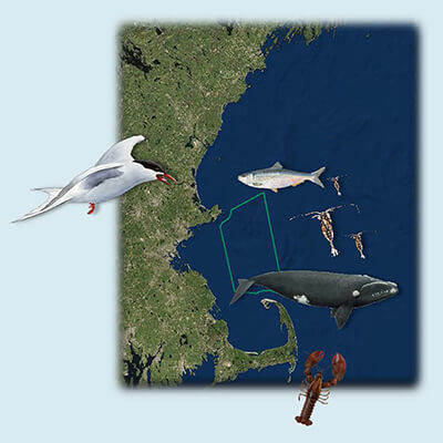 Graphic marking an area off the coast of massachusetts and showing some animals that live there
