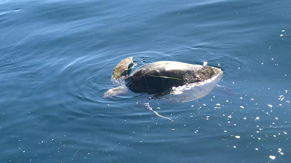 olive ridley sea turtle at the ocean surface