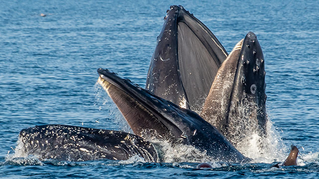 humpback whales feeding, with a sea lion nearby