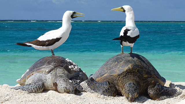 two masked boobies sitting on green sea turtles