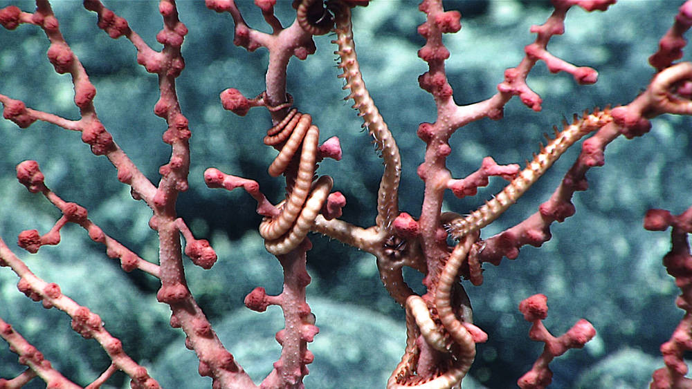 deep sea coral and brittle stars