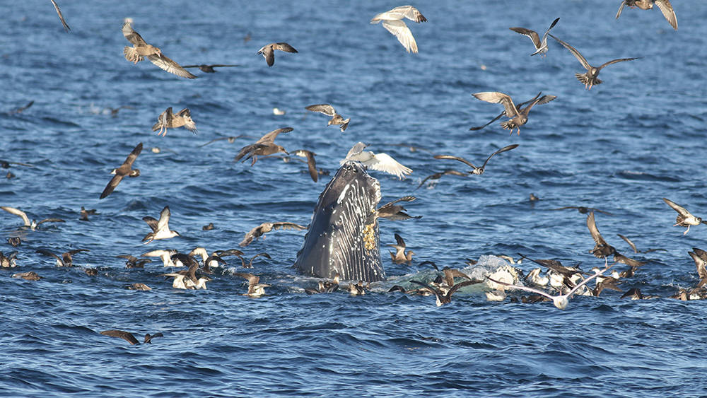feeding humpback whales surrounded by seabirds