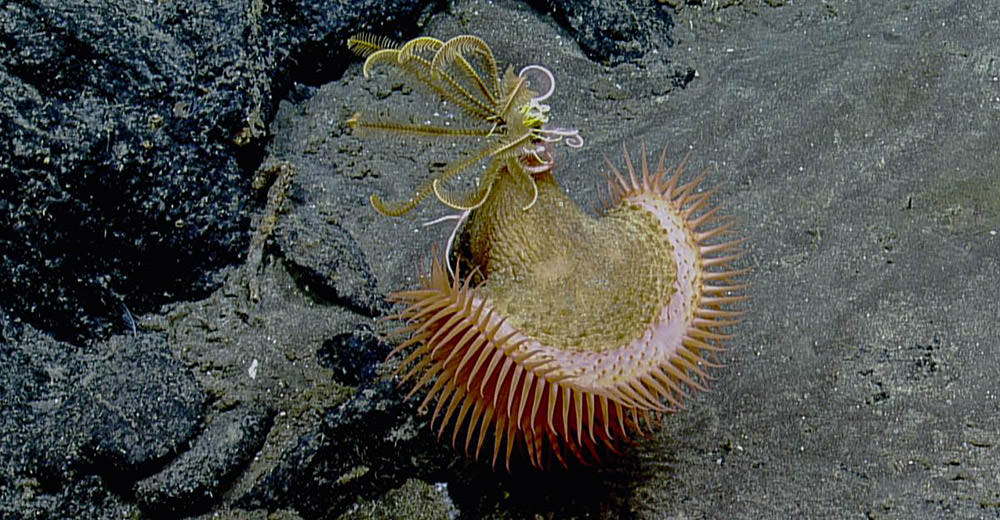 venus fly trap sea anemone
