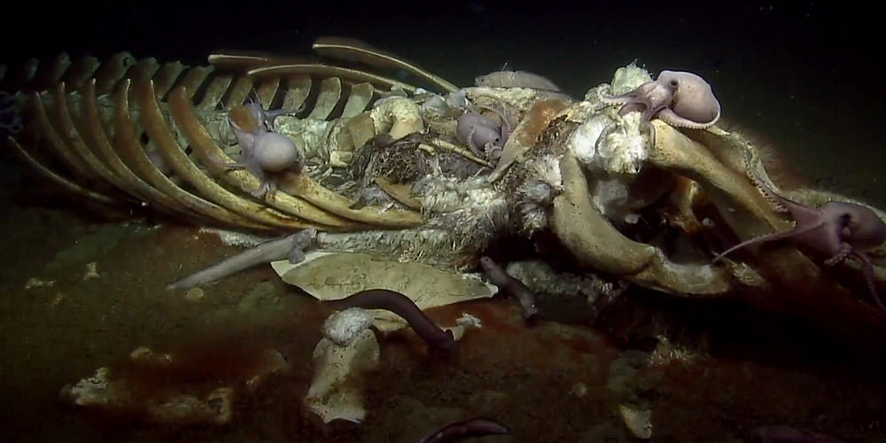 submerged whale skeleton covered in octopuses