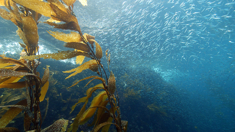 many small fish swimming in a kelp forest