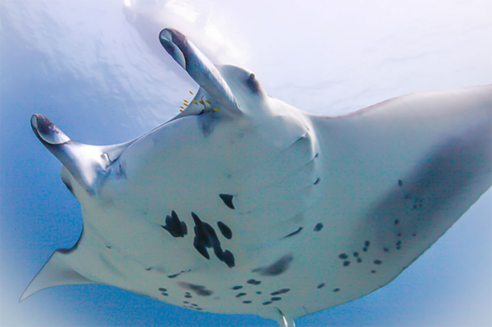 manta ray from below