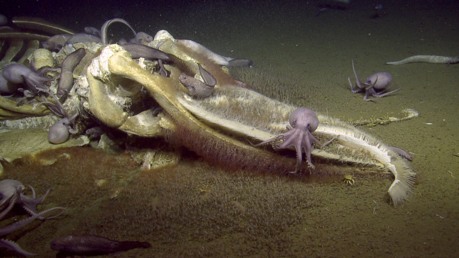 A decaying whale on the sea floor covered in different organisms.