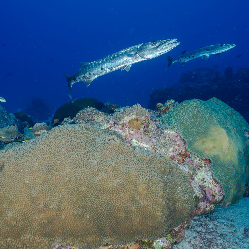 Two Barracudas swim above corals