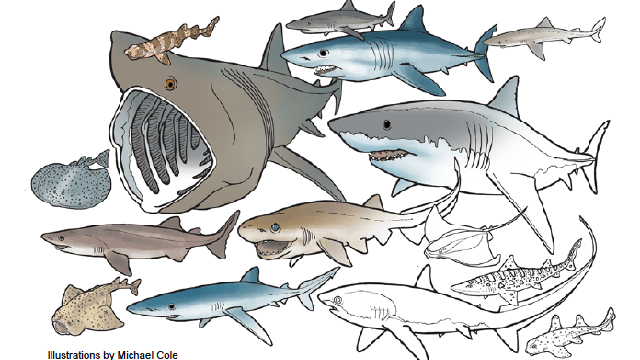 illustration of sharks to color