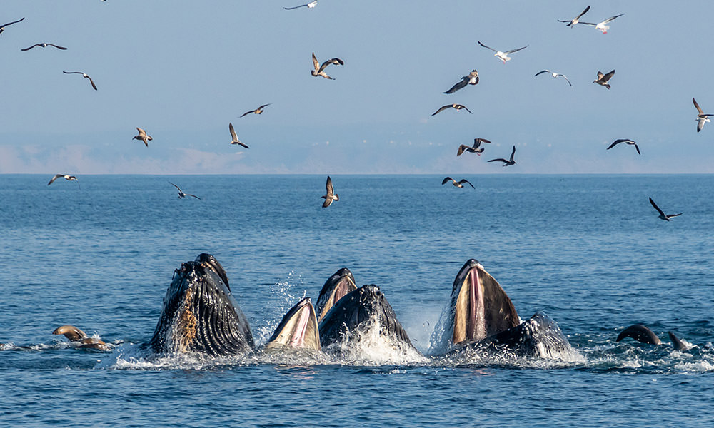 three whale feeding at the surface with seabirds flying overhead
