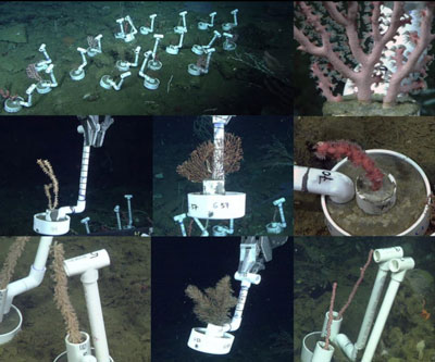 Guide to Translocating Coral Fragments for Deep-sea Restoration