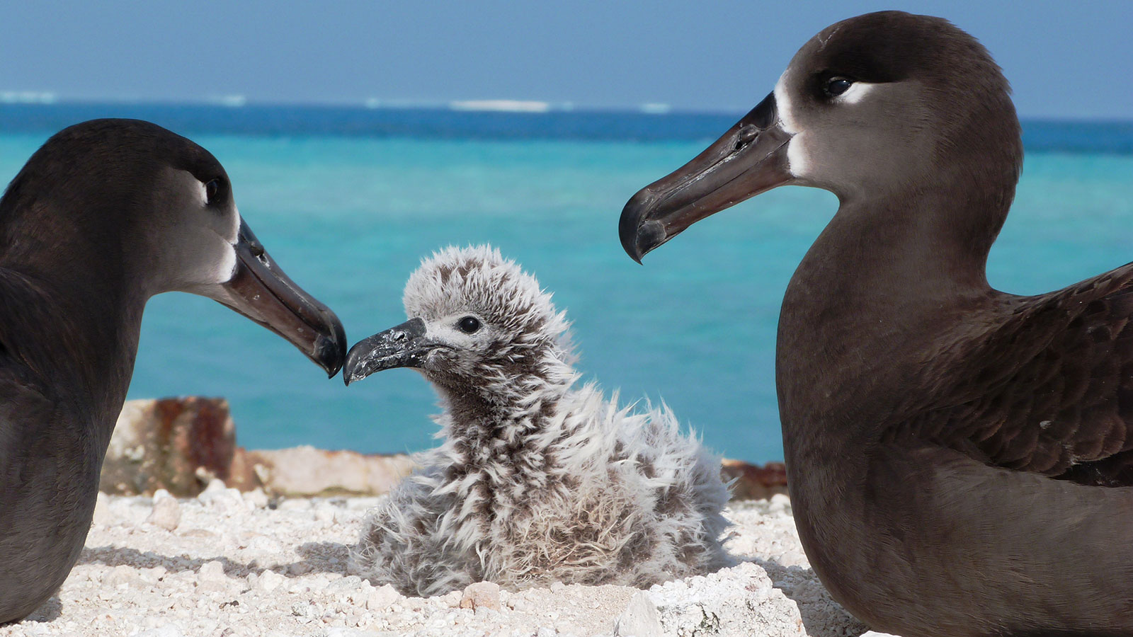 Two black-footed albatross watch over their chick