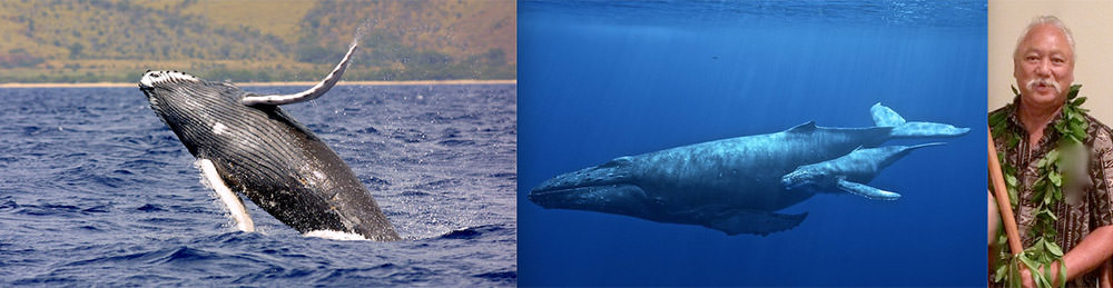 left: a whale breching, center: a whale underwater, right: Solomon Pili Kahoʻohalahala