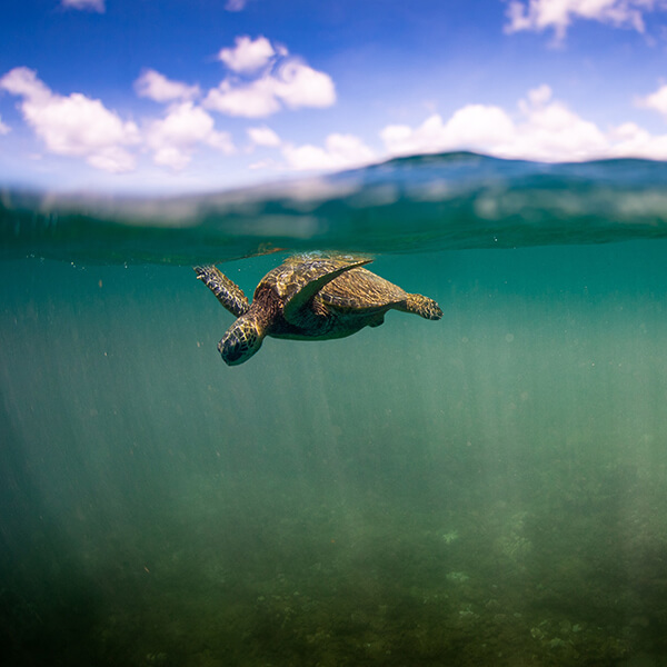 a turtle swims just below the surface of the water