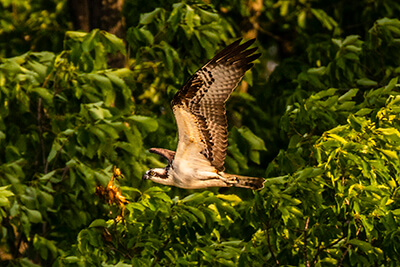 An osprey soars near forest at Mallows Bay-Potomac River National Marine Sanctuary