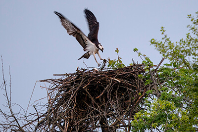 An osprey tends its nest