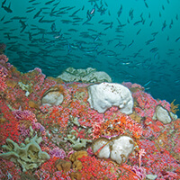 Bright pink corals with fish swimming above