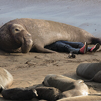 An elephant seal laying laying on top of someone
