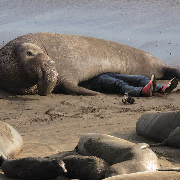 An elephant seal laying on top of a man