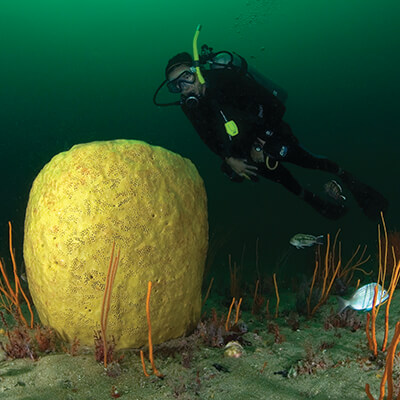 A diver examines a barrel spomge