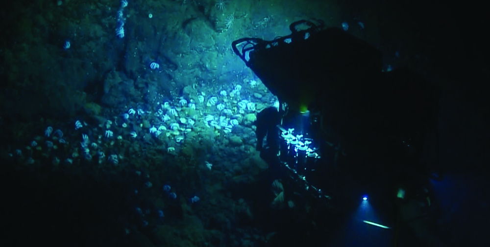 The ROV hercules shines a light on a large gathering of Muusoctopus octopuses
