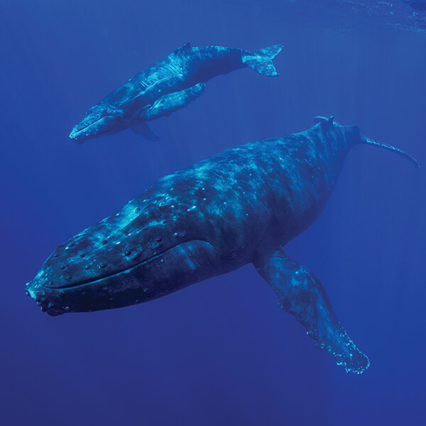 A humpback whale calf swims with its mother