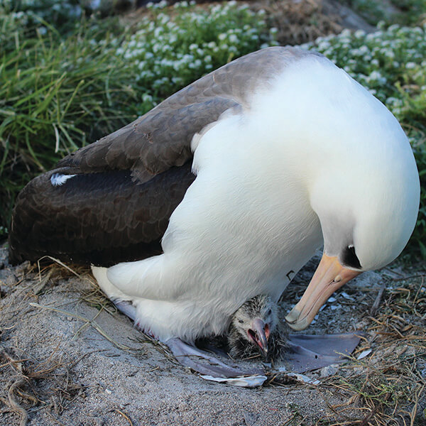 An albatross tends to its hatchling