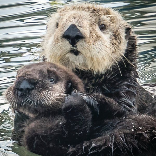 A mother sea otter and her pup