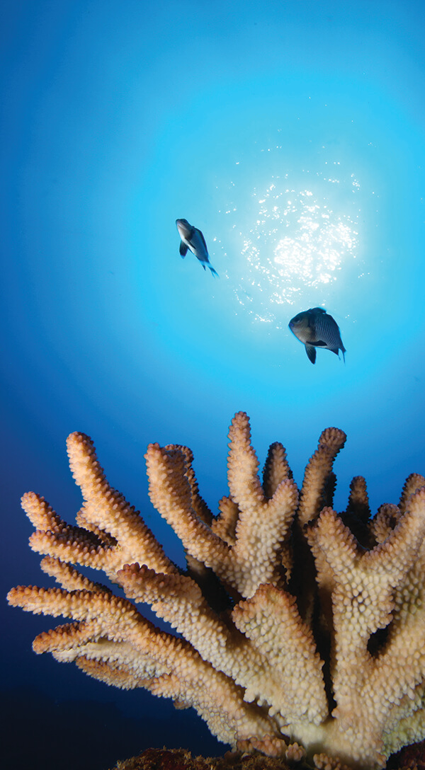 Two fish swim above coral
