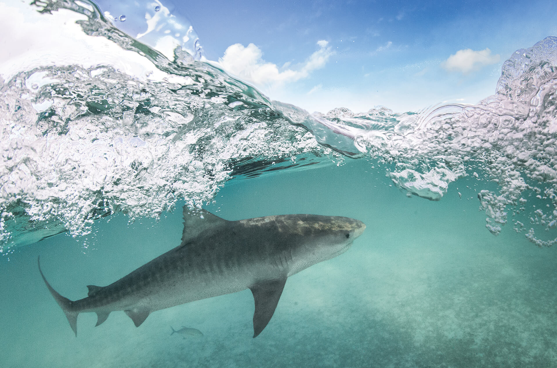 A tiger shark swims just below the surface of the water