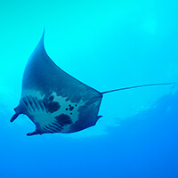 A manta ray seen from below