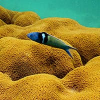 A bluehead wrasse swims over an Orbicella coral