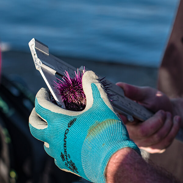 A person measures an urchin