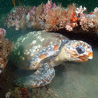 A sea turtle swims between corals
