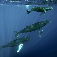 3 humpback whales swim just below the surface