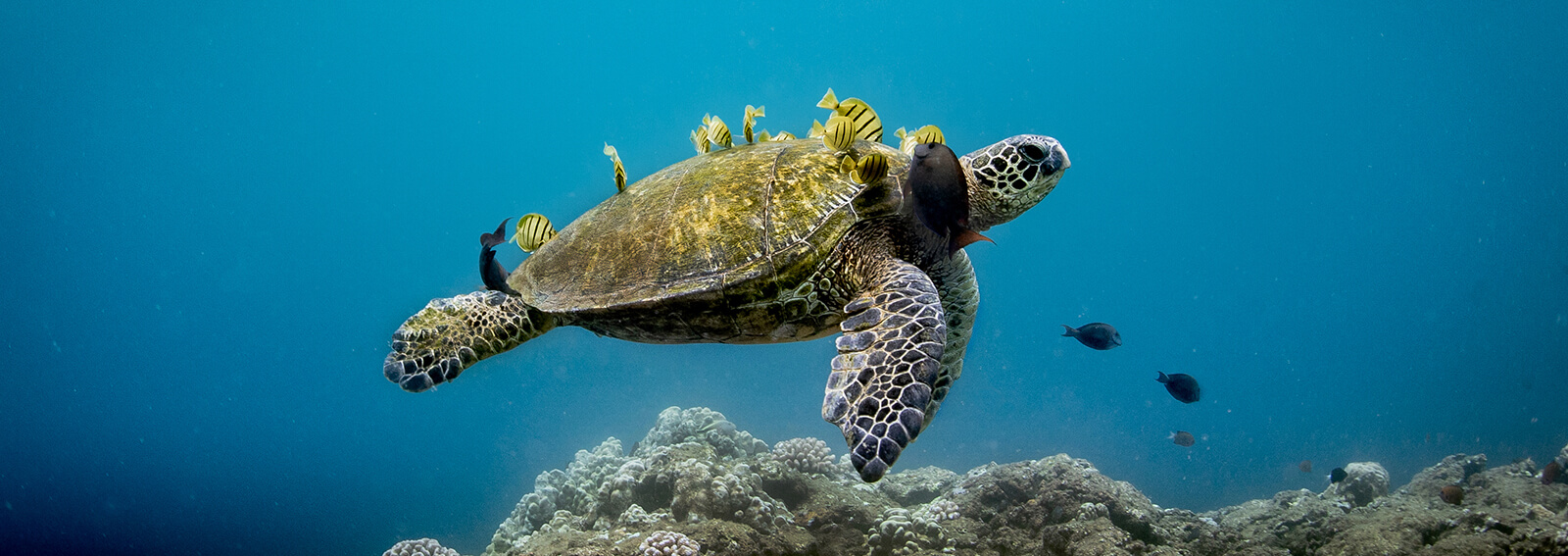 A sea turtle swims with yellow fish clinging to its shell