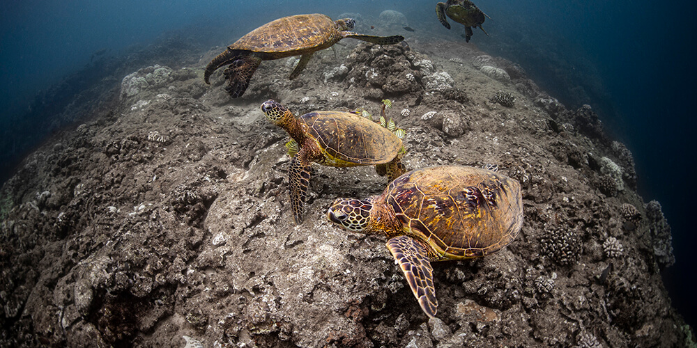 Turtles swim over rocks, one ha yellow fish picking at its shell