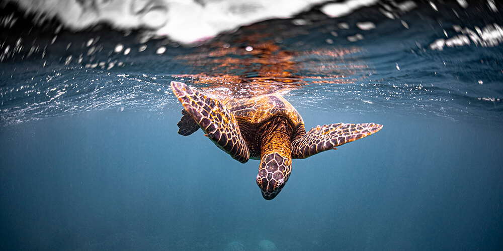 A sea turtle looks down form the surface of the water