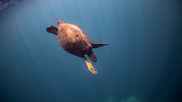 A sea turtle swims downward