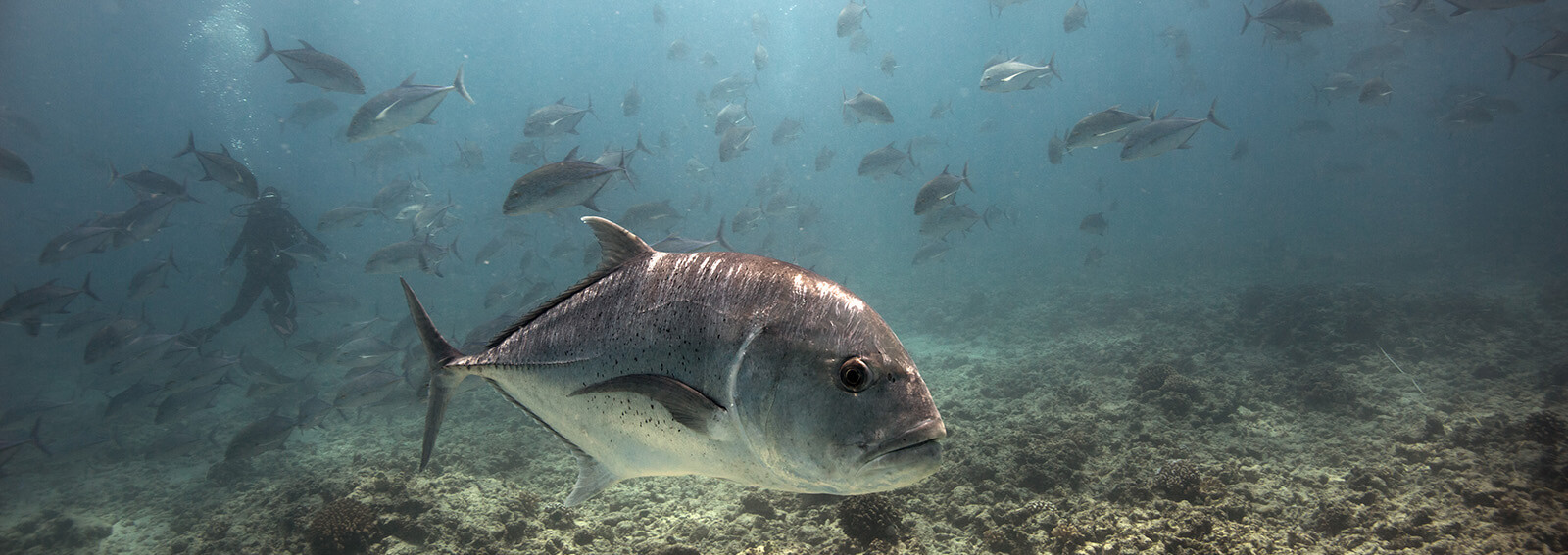 Many gray fish swim in shallow water