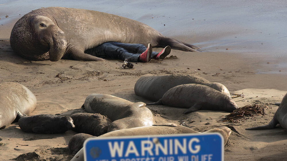 Elephant seal laying pn someone