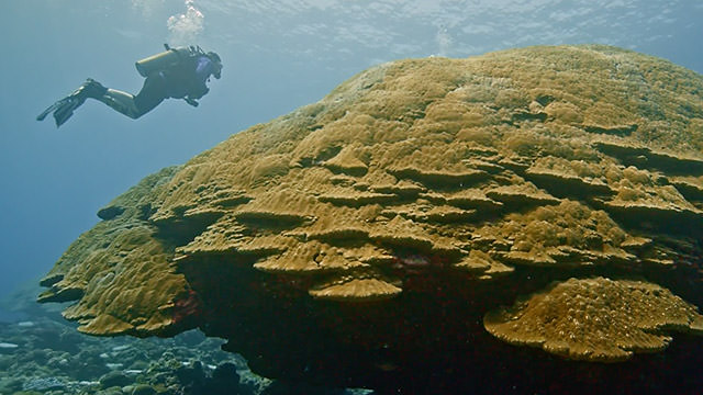 diver swimming by big momma coral head
