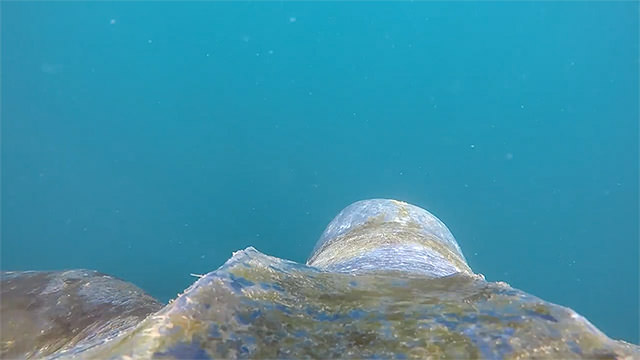 view from a leatherback turtles shell as it swims through the water