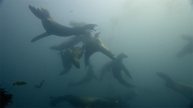 sea lions playing under water