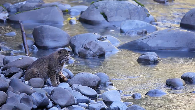 bobcat sitting on a rock in a river fishing for salmon