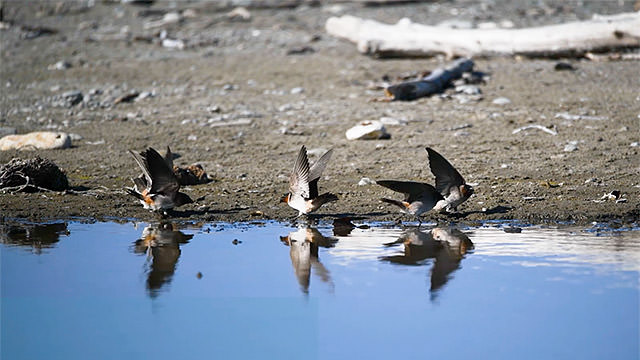 cliff swallows on the beach