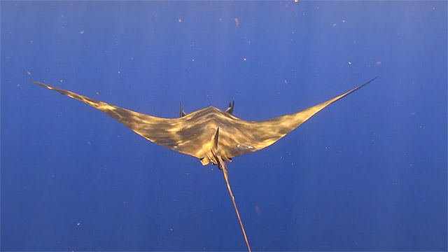 a mobula gliding through the water