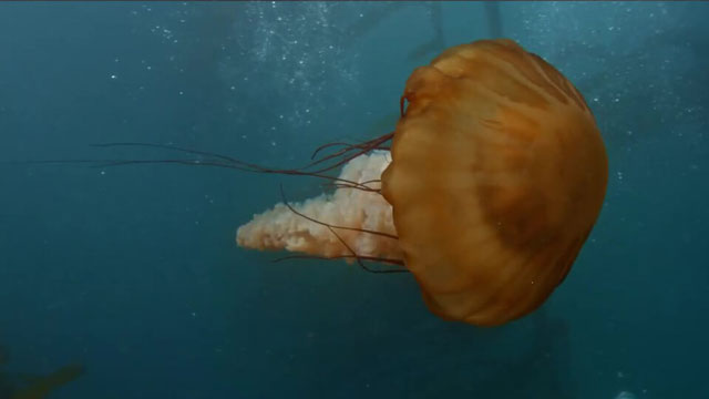 a jellyfish swimming in Olympic Coast Marine Sanctuary