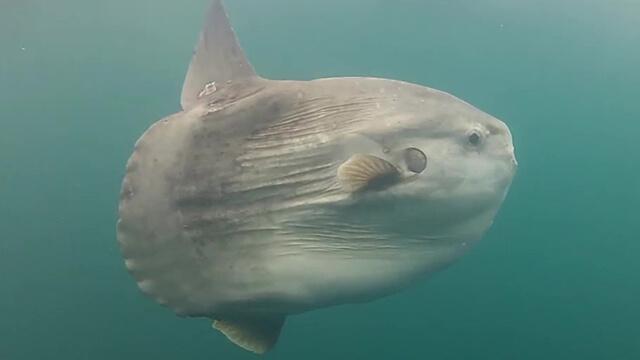 A Mola Mola swimming