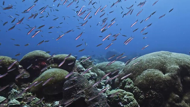 Fish swim near a coral reef
